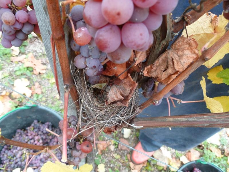 Les oiseaux choisissent nos vignes !