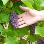 Les beaux raisins!