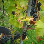 Récolte du Pinot Noir
