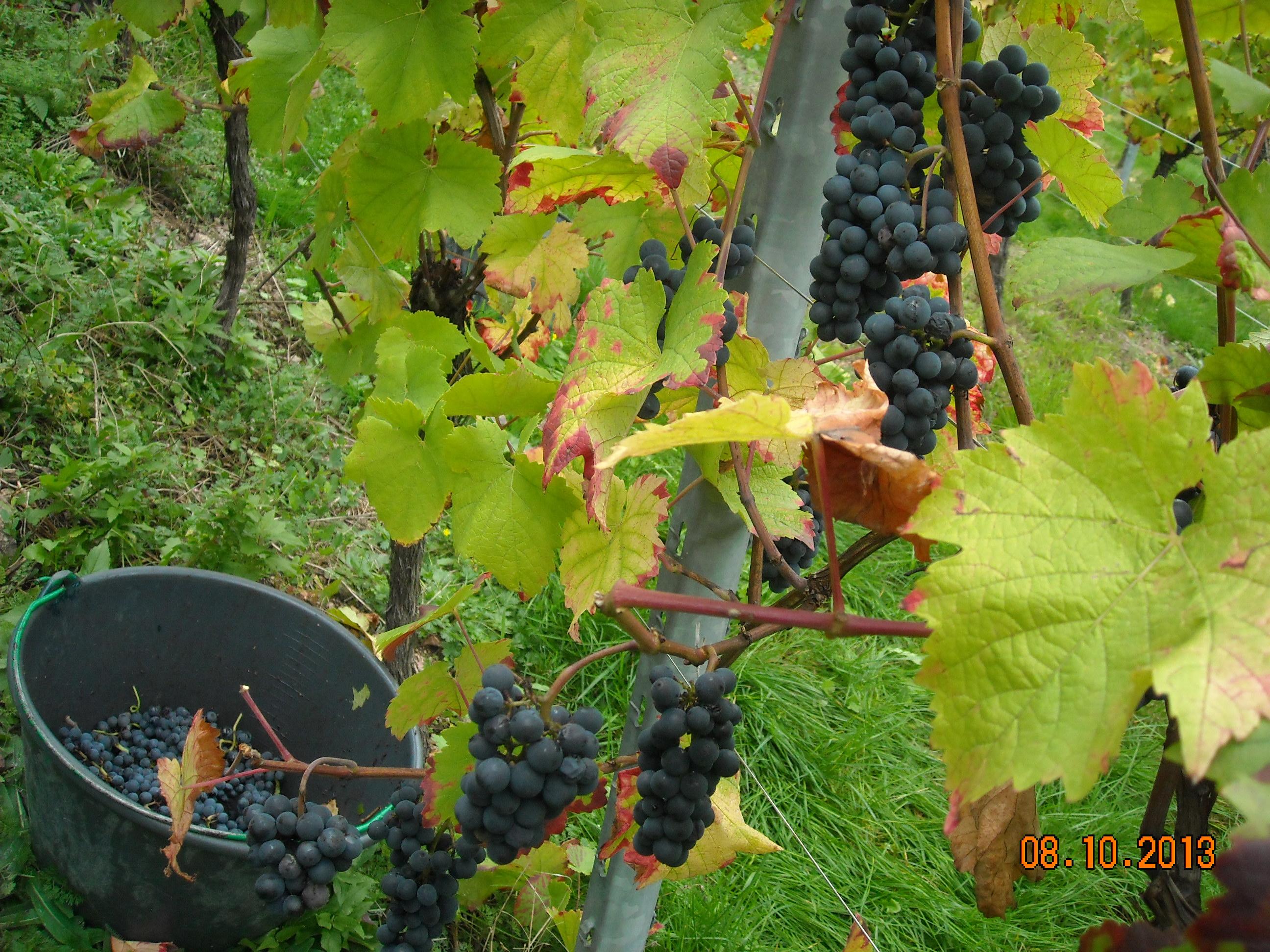 Petites grappes de Pinot Noir bien colorées