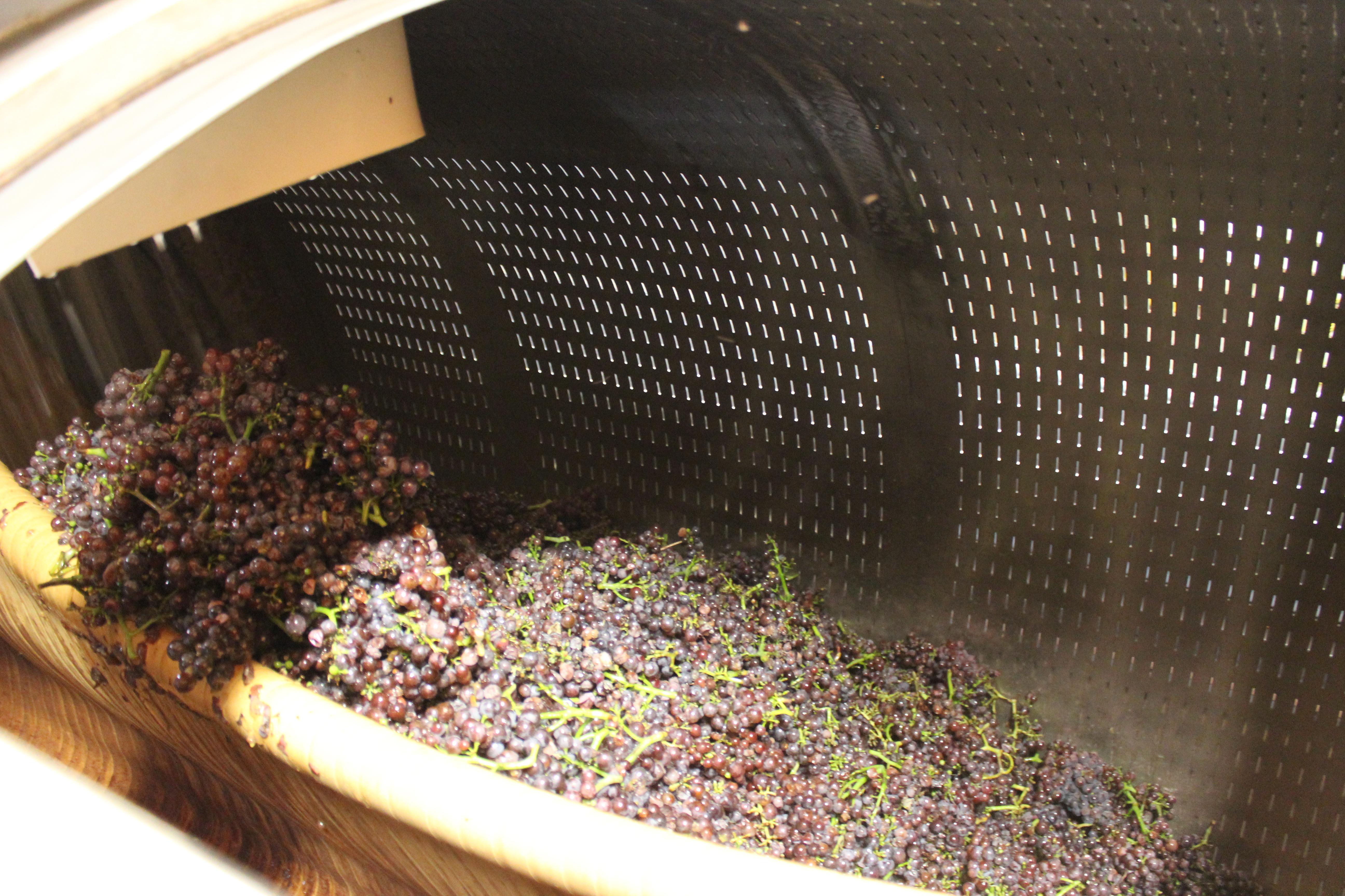 Pinot Gris dans le pressoir