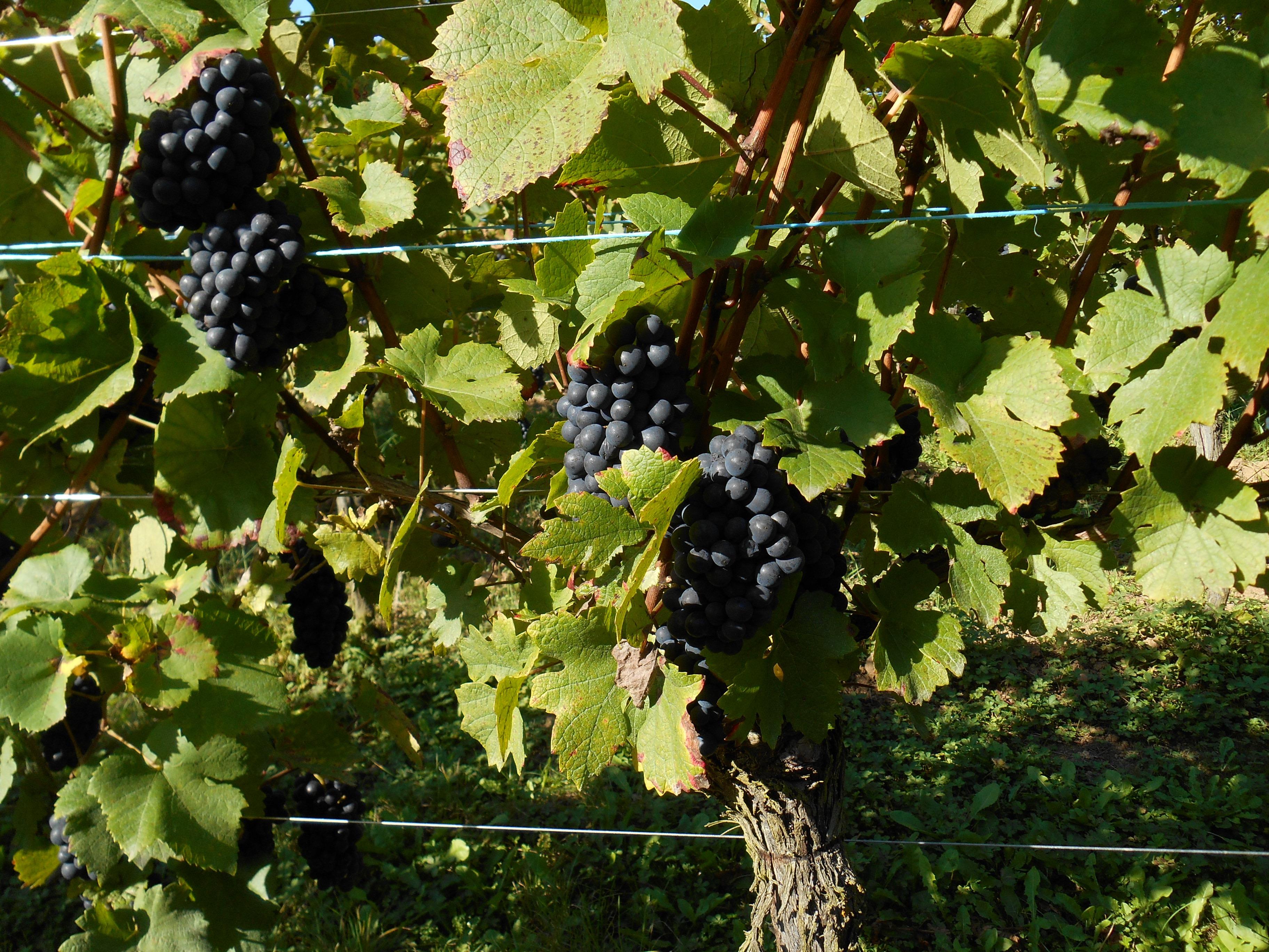 Pinot Noir magnifiques!