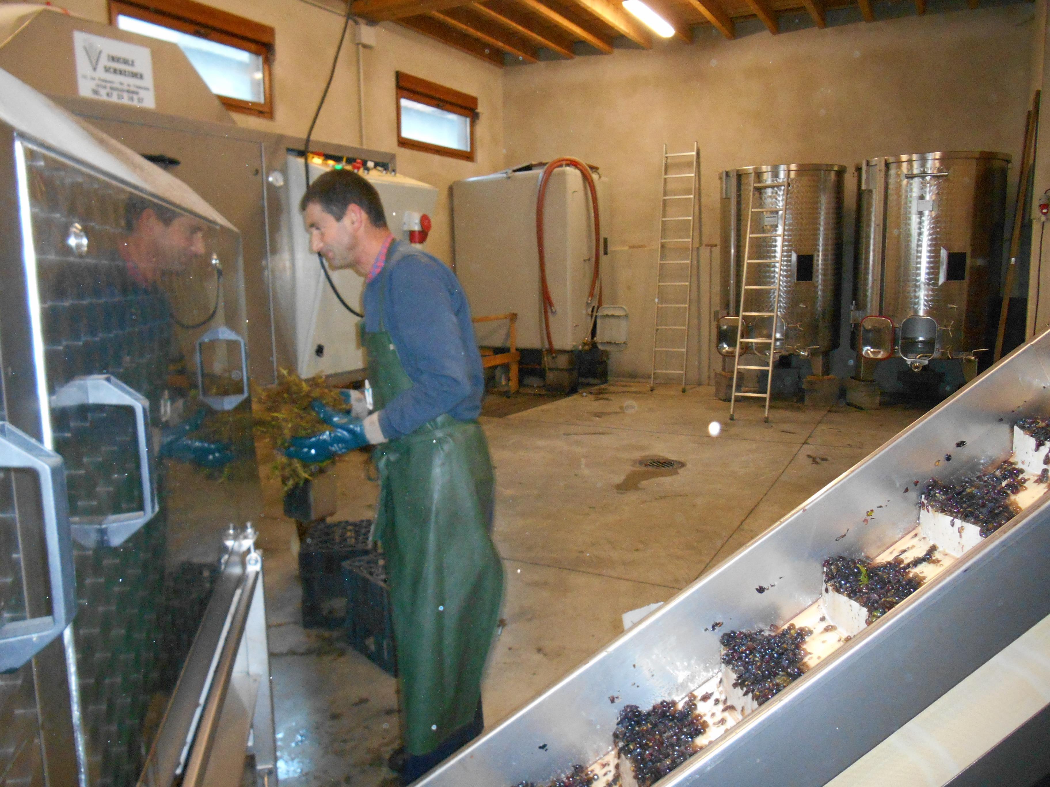 Egrappage  du pinot noir