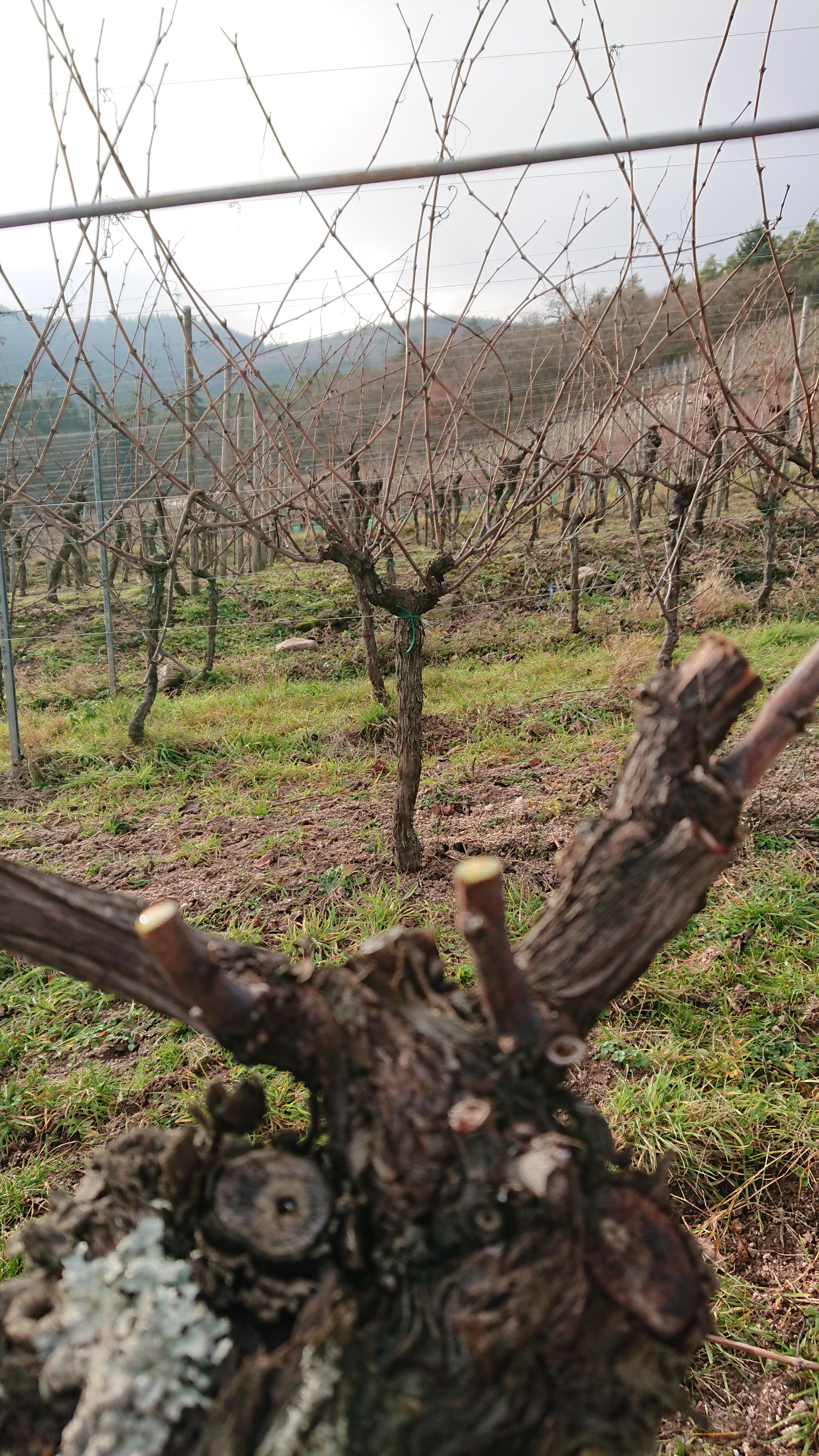 Pied de vigne taillé