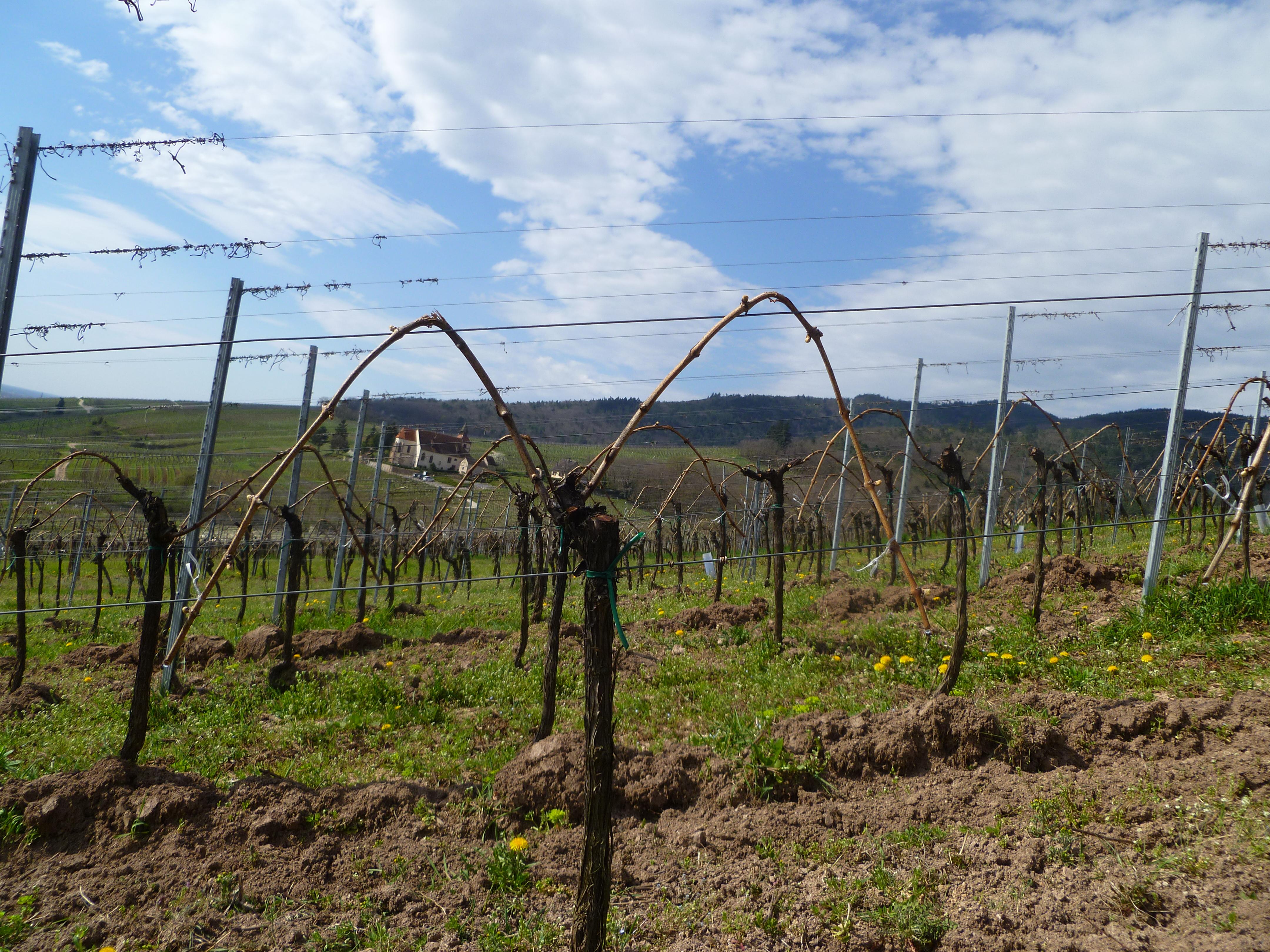 Les vignes sont arquées