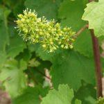 Mai-juin dans nos vignes…