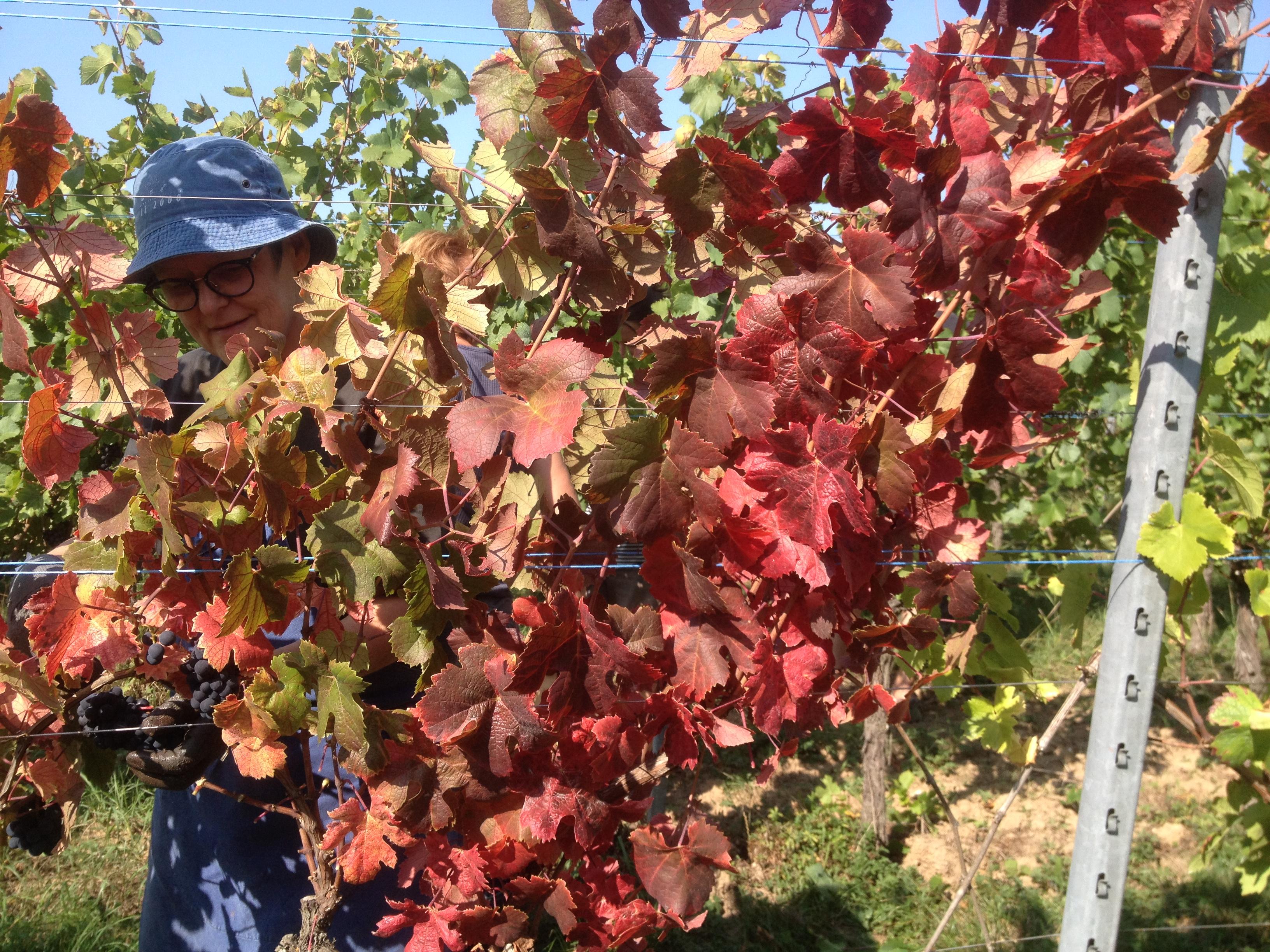 Les feuilles rouges du pinot noir